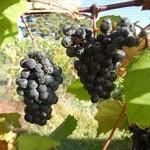 N Norton E-L Stage 38 Berries harvest ripe.