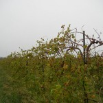 MVEC Valvin Muscat E-L Stage 43 Beginning of leaf fall