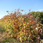 MVEC Sunbelt E-L Stage 43 Beginning of leaf fall