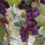 W Catawba E-L Stage 38 Berries harvest ripe.