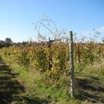 R Seyval Blanc E-L Stage 45 Intermediate leaf fall