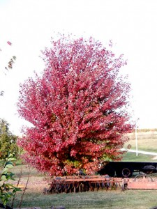 Acer rubrum 'Autumn Blaze'