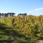 F Vignoles E-L Stage 43 Beginning of leaf fall