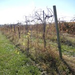 MVEC Valvin Muscat E-L Stage 47 End of leaf fall
