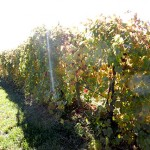 MVEC Chambourcin E-L Stage 43 Beginning of leaf fall