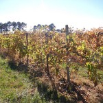 F Vignoles E-L Stage 44 Intermediate leaf fall