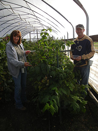 Shelia Long (left) is still harvesting raspberries in the high tunnel with Tom Barker. Shelia has managed the data collection for this research trial.