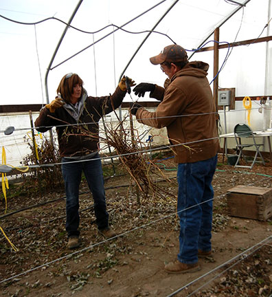 Shelia and Randy bundle and weight the cane prunings from each replication in the high tunnel raspberries in grow bags experiment.