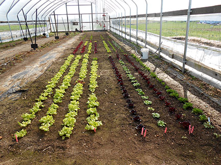 Here are the veggies about a week after planting.