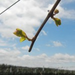 NWV Arandel E-L Stage 4 Budburst; leaf tips visible