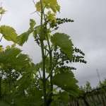 R Seyval Blanc E-L Stage 16 – 17 10 leaves separated to 12 leaves separated; inflorescence well developed, single flowers separated.