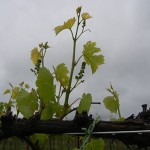 F Vignoles E-L Stage 15 8 leaves separated; shoots elongating rapidly; single flowers in compact groups