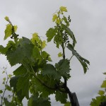 F Chardonel E-L Stage 16 – 17 10 leaves separated to 12 leaves separated; inflorescence well developed, single flowers separated.