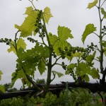 D Vidal Blanc E-L Stage 15 8 leaves separated; shoots elongating rapidly; single flowers in compact groups