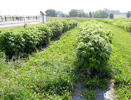 Here are the raspberries in the field before moving.