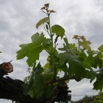 G Cabernet Sauvignon E-L Stage 11 - 12 4 leaves separated to 5 leaves separated; shoots about 10 cm long; inflorescence clear