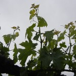 G Cabernet Sauvignon E-L Stage 14 7 leaves separated