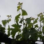 G Cabernet Sauvignon E-L Stage 14 7 leaves separated