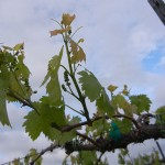 MVEC Valvin Muscat E-L Stage 11 - 12 4 leaves separated to 5 leaves separated; shoots about 10 cm long; inflorescence clear