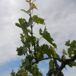 MVEC Valvin Muscat E-L Stage 13 - 16 6 leaves separated to 7 leaves separated to 8 leaves separated; shoot elongating rapidly; single flowers in compact groups to 10 leaves separated.