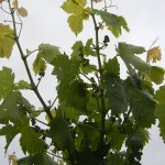 MVEC Valvin Muscat E-L Stage 15 - 16 8 leaves separated; shoot elongating rapidly; single flowers in compact groups to 10 leaves separated.