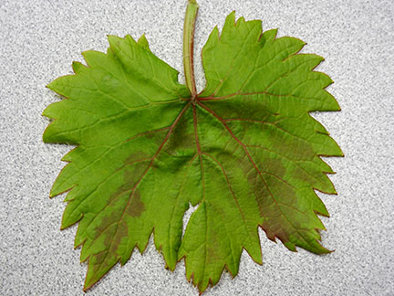 This is a Chambourcin leaf with a symptom we are currently trying to identify.
