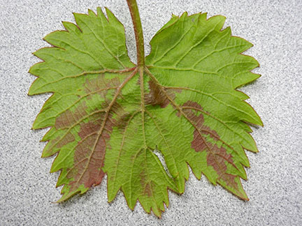 Here is what the symptom looks like on the underside of the leaf.