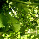 MVEC Valvin Muscat E-L Stage 29 - 31 Berries pepper-corn size (4 mm diam); bunches tending downward to Berries pea-size (> 7mm diam.).