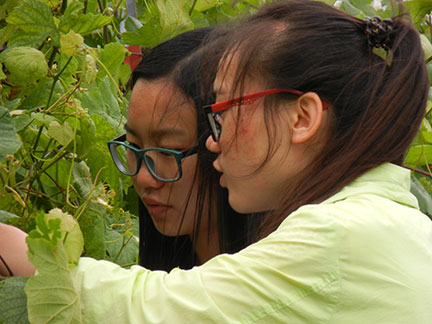 Chinese practicum students work in the vineyards at Mountain Grove