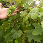 F Vignoles E-L Stage 34 - 36 Berries begin to soften; Sugar starts increasing to Berries begin to colour and enlarge to Berries with intermediate sugar levels.