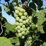 F Cayuga White E-L Stage 35 Sugar starts increasing to Berries begin to colour and enlarge.