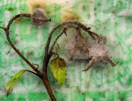 Botrytis gray mold grew on the blighted blossom when placed on a moist paper towel and sealed in a plastic  bag.