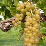 R Seyval Blanc E-L Stage 35 - 36 Berries with intermediate sugar levels to Berries not quite ripe.