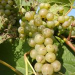 F Vignoles E-L Stage 34 - 35 Berries begin to soften; Sugar starts increasing to Berries begin to colour and enlarge.