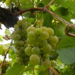 F Vignoles E-L Stage 38 Berries harvest ripe.