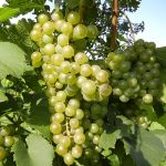 F Chardonel E-L Stage 35 - 36 Berries begin to colour and enlarge to Berries with intermediate sugar levels.
