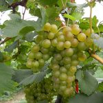 F Chardonel E-L Stage 38 Berries harvest ripe.