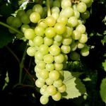 F Traminette E-L Stage 34 - 35 Berries begin to soften, sugar starts increasing to Berries begin to colour and enlarge.
