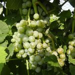 F Cayuga White E-L Stage 35 - 36 Berries with intermediate sugar levels to Berries not quite ripe.