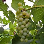 F Cayuga White E-L Stage 38 Berries harvest ripe.