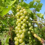 D Vidal Blanc E-L Stage 33 - 34 Berries still hard and green to Berries begin to soften, sugar starts increasing.