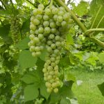 D Vidal Blanc E-L Stage 35 - 36 Berries begin to colour and enlarge to Berries with intermediate sugar levels.