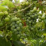 MVEC Valvin Muscat E-L Stage 34-35 Berries begin to soften, sugar starts increasing to Berries begin to colour and enlarge.