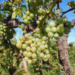 MVEC Valvin Muscat E-L Stage 36 Berries with intermediate sugar levels.