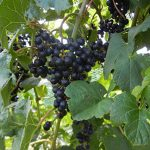 NWV Arandel E-L Stage 38 Berries harvest ripe.