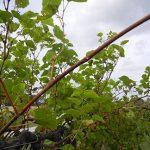 D Vivant E-L Stage 40 After harvest, canes maturing.