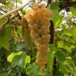 D Vidal Blanc E-L Stage 38 Berries harvest ripe.