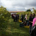 The students harvesting Vidal Blanc grapes
