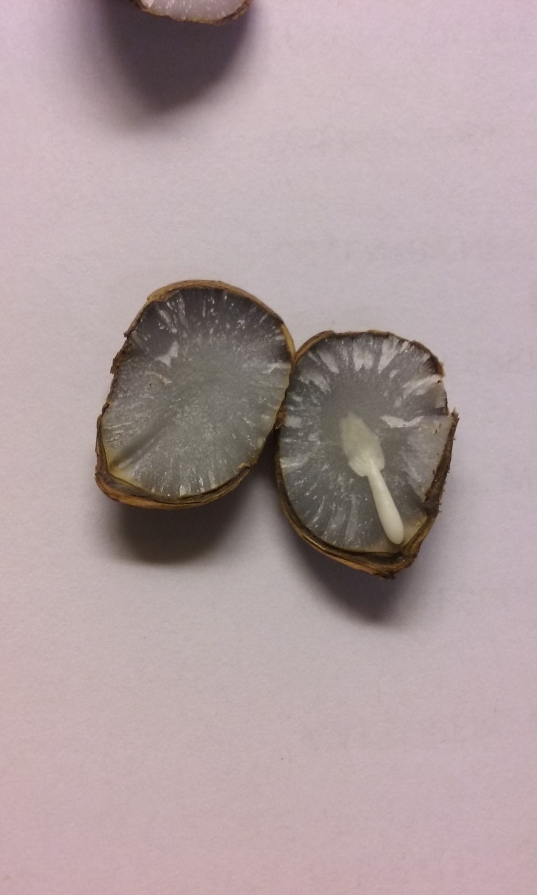 Persimmon Seeds