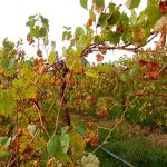 F Vignoles E-L Stage 45 Middle of leaf fall.